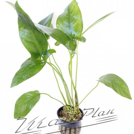 Anubias hastifolia 102 planta ManPlan