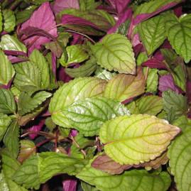 Plantas Varias