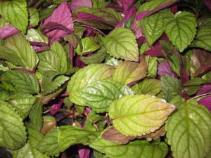 hojas Hemigraphis