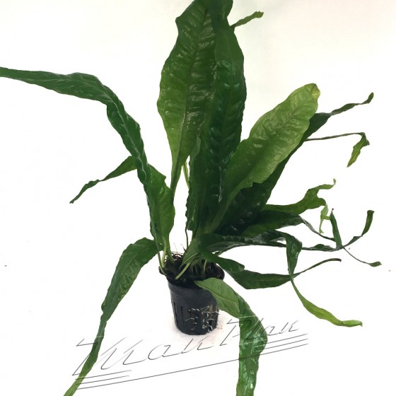 Microsorium Cuerno de Alce ManPlan