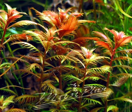 proserpinaca-palustris-manplan
