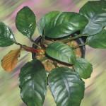 anubia coffeifolia