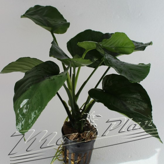 anubias barteri broad leaves 100 ManPlan