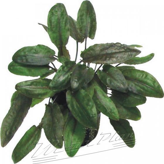 cryptocorine-tropica-manplan