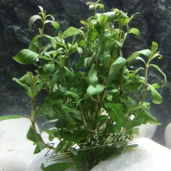 hygrophila polysperma ManPlan