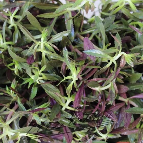 limnophilla hipuroides ManPlan