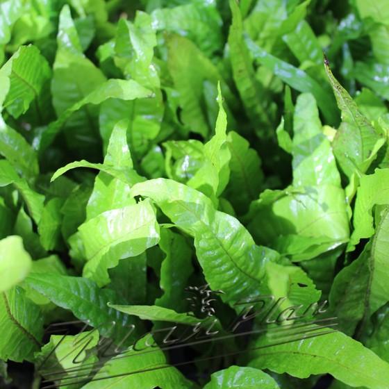 Microsorium hojas ManPlan