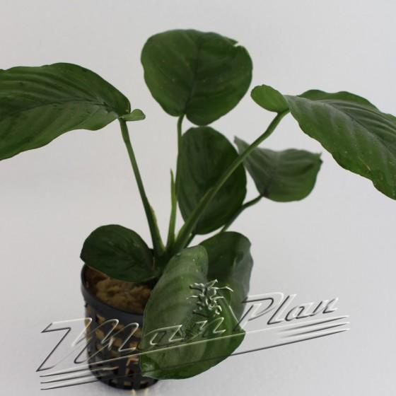 anubias barteri single planta ManPlan