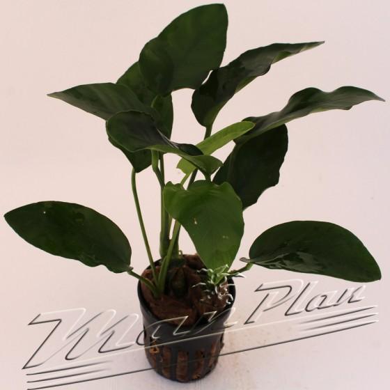 Anubias barteri var Barteri planta ManPlan