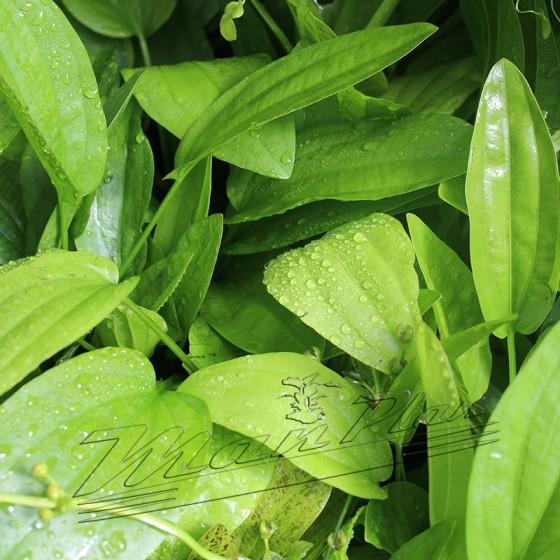 Echinodorus radicans ManPlan
