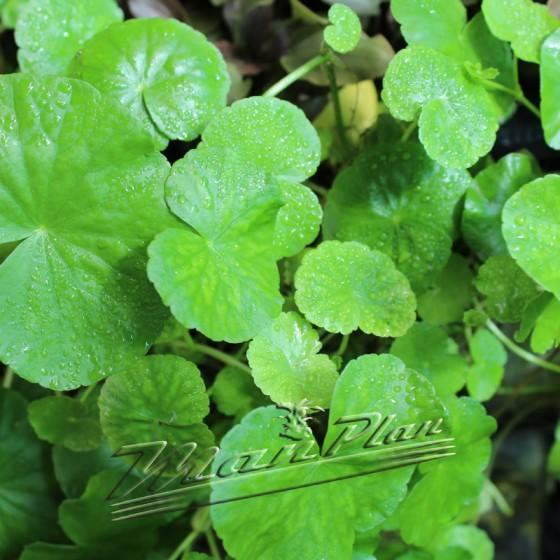 Hydrocotile leucocephala ManPlan
