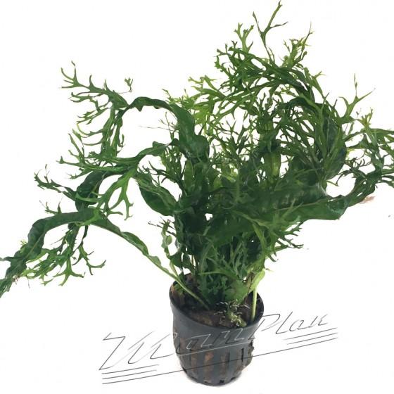 Microsorium windelovii ManPlan