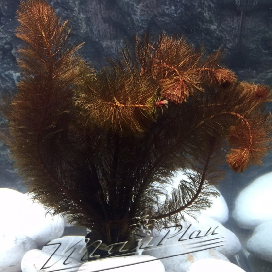 Miriophillum rojo planta ManPlan