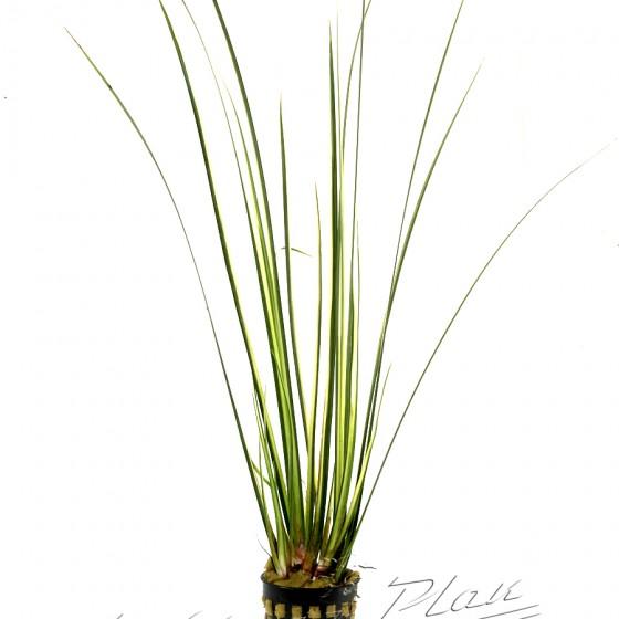 acorus variegatus (2) ManPlan