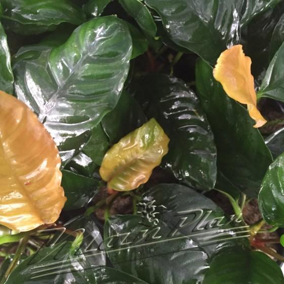anubias coffefolia ManPlan