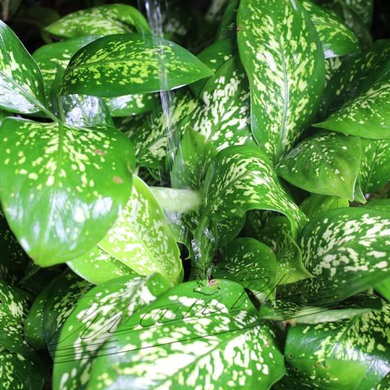 dieffenbachia hojas ManPLan