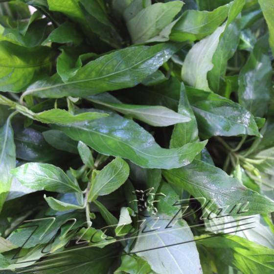 hygrophilla agustifolia hojas ManPlan