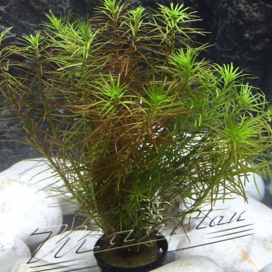 rotala walichii planta manPlan