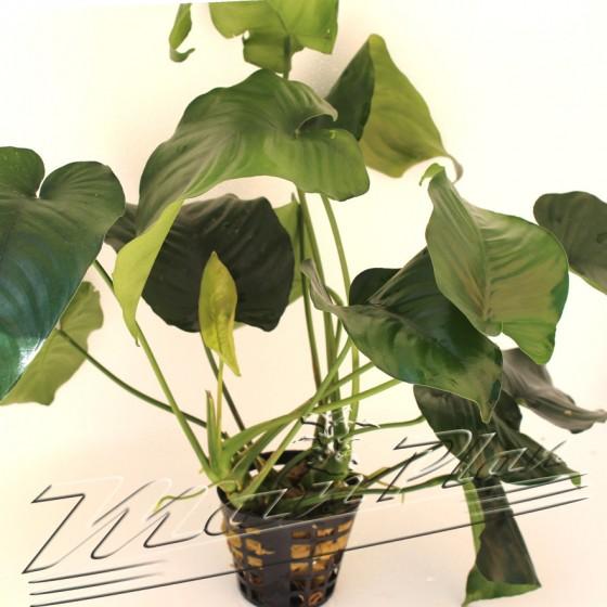Anubias barteri especial xxl 094 planta ManPlan
