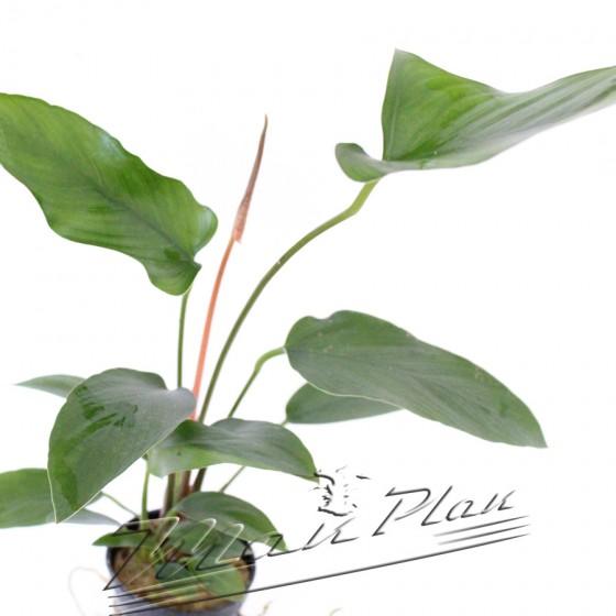 Anubias gracilis 097 ManPlan