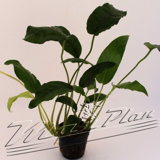 Anubias short and sharp ManPlan