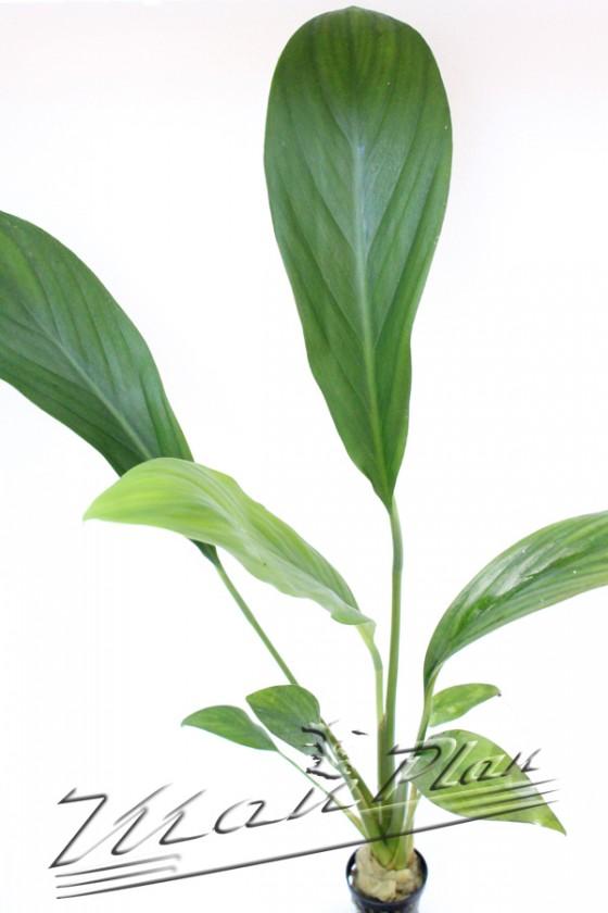 Anubias sp 109 planta ManPlan