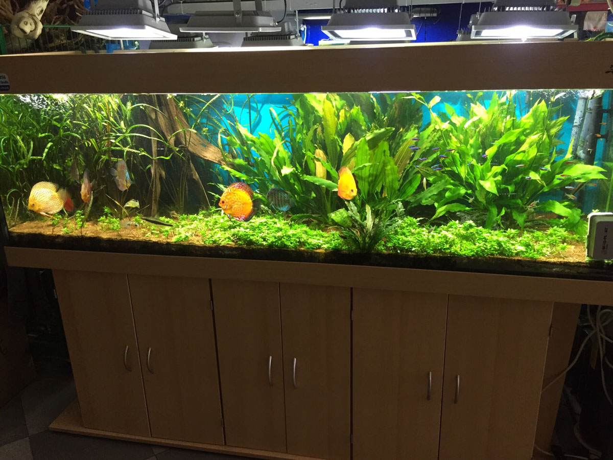 Acuario de don disco manplan plantas acu ticas for Todo para acuarios