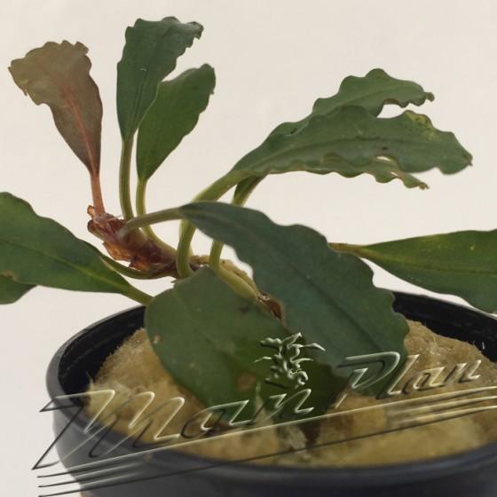 Bucephalandra Kir Royate ManPlan