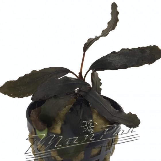 Bucephalandra Montleyana red ManPlan