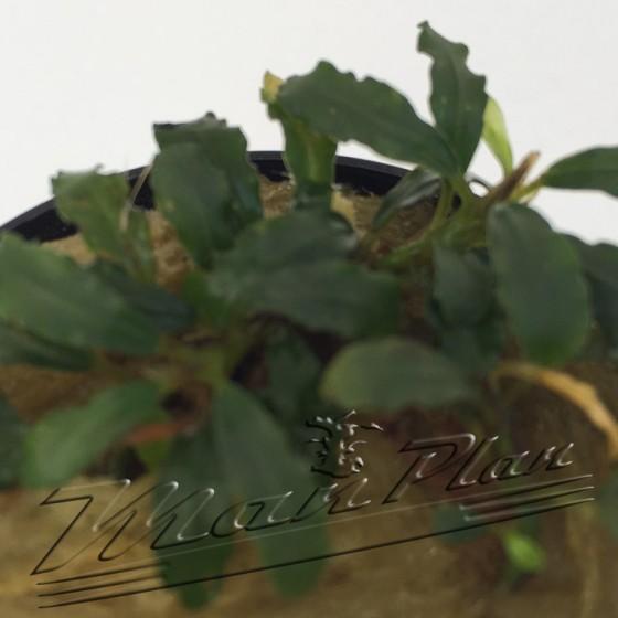 Bucephalandra Nekan ManPlan