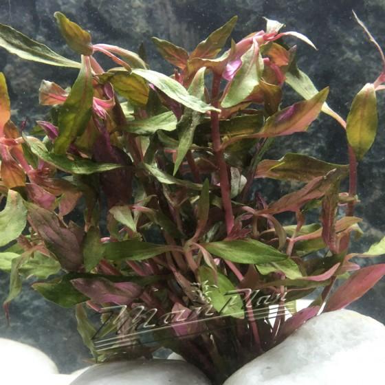 alternanthera rosifolia ManPlan