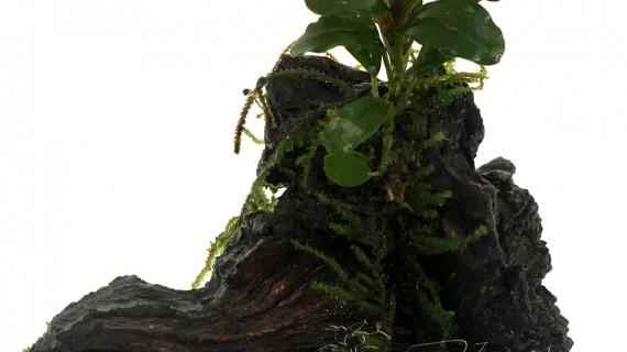 mini tronco bucephalandra (8) ManPlan