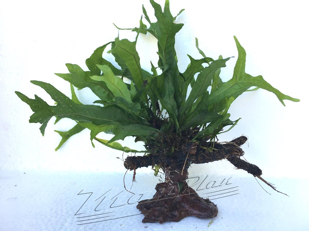 Bonsai con Microsorium ManPlan
