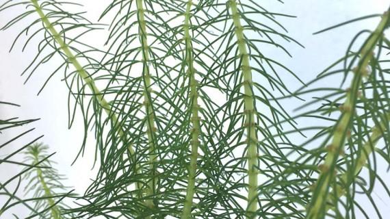 Hidrotriche hottoniiflora detalle ManPLan