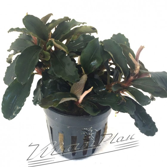 Bucephalandra new Theia Red 2
