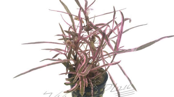 Hygrophilla pink ManPlan