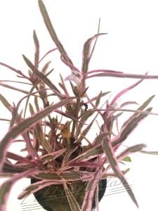 Hygrophilla pink hoja ManPlan
