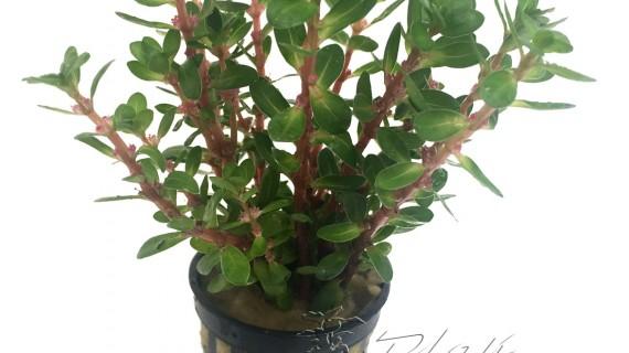 amania bonsai ManPlan