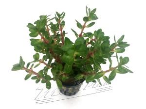 amania bonsai detalle ManPlan