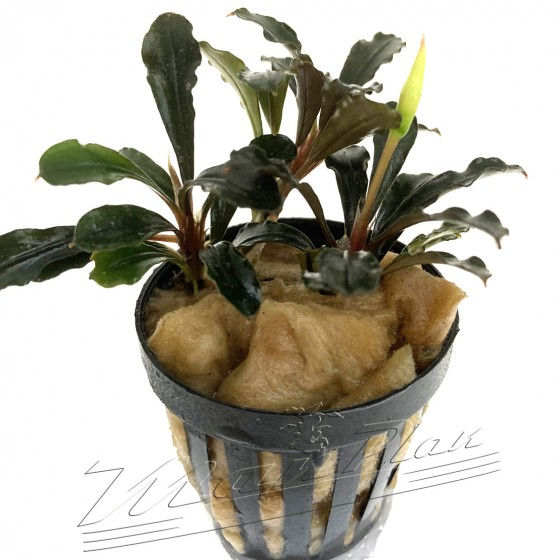 Bucephalandra Brownie Matallica (3) ManPLan