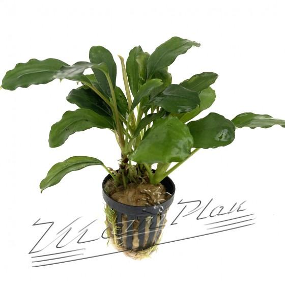 Bucephalandra Green Achiles (1) ManPLan