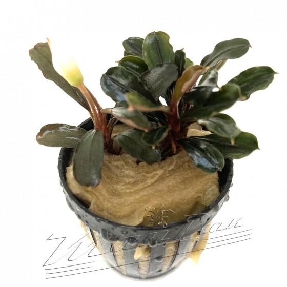 Bucephalandra HERON (4) ManPlan
