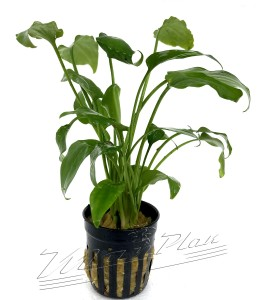 Cryptocoryne Pontederifolia (3) ManPlan