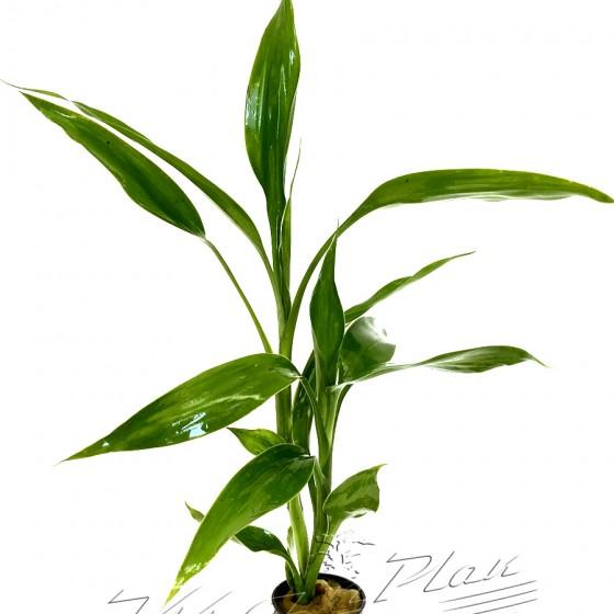 Dracena deremensis (2) ManPlan