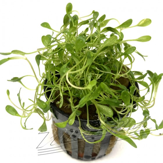 Glossostigma elatinoides (3) ManPLan