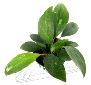 Piptospatha ridleyi (2) ManPlan