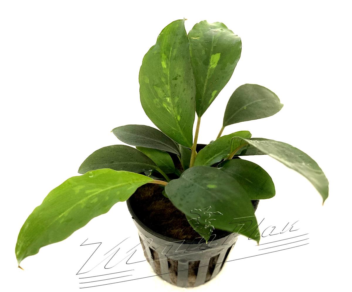 Piptospatha ridleyi (3) ManPlan