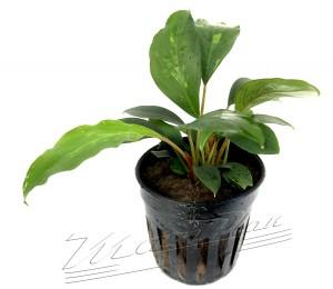 Piptospatha ridleyi (3) ManPlan1