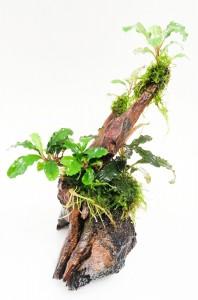 bucephalandra en tronco doble 3ok