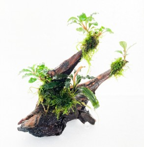 bucephalandras en tronco doble ok